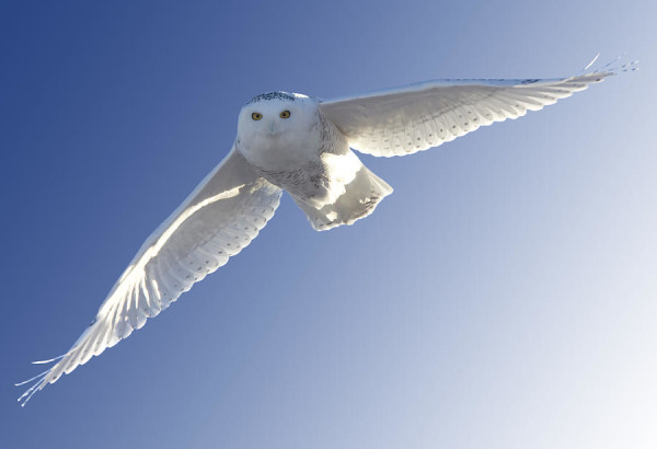 2-snowy-owl-in-flight-mark-duffy